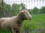 Sheep by AaronMk