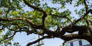 Reaching Oak by AaronMk