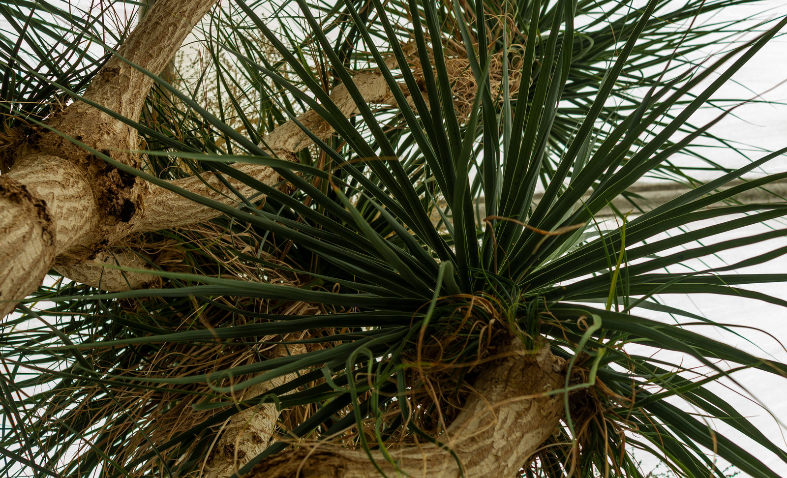 Ponytail Palm by AaronMk