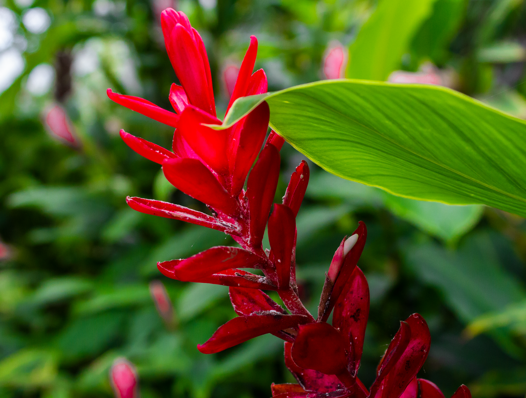Red ginger by AaronMk