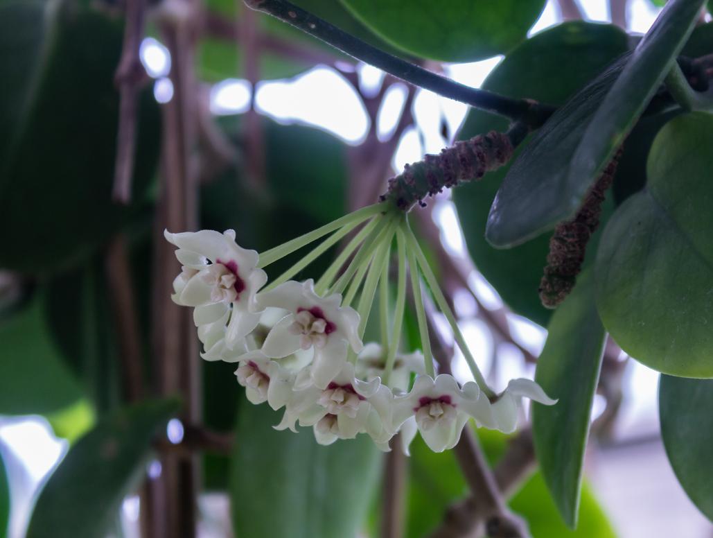 Waxplant Flowers by AaronMk