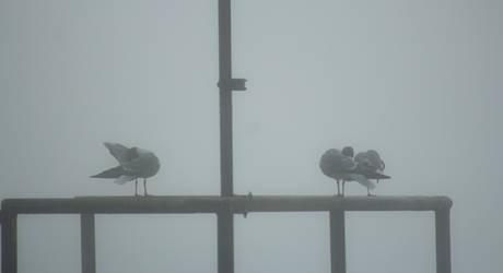 Foggy Gulls by AaronMk