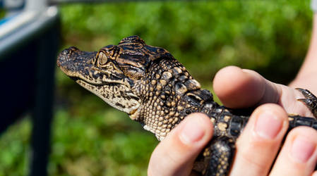 Baby Alligator 2 by AaronMk