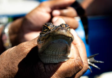 Baby Alligator by AaronMk