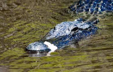 Scarred Aligator