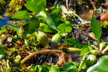 Water Hyacinth pods by AaronMk