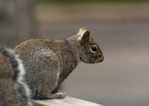 Gray Squirrel 2
