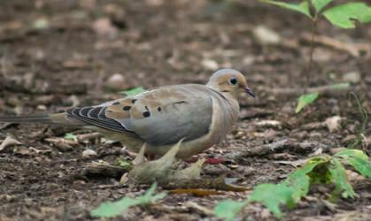 Morning Dove 2