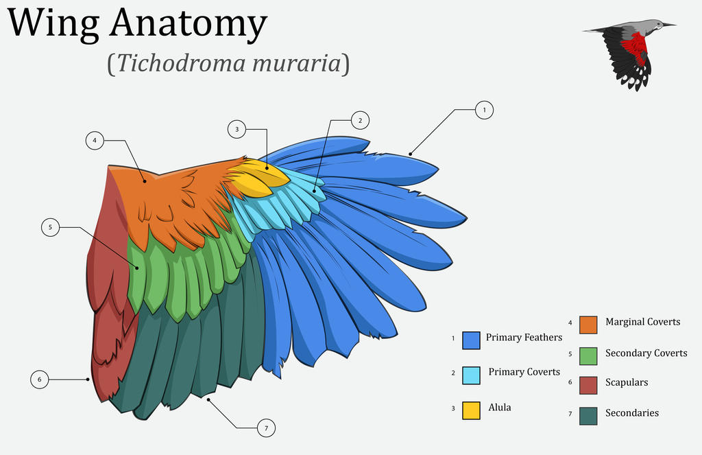 Wing Anatomy by Eden-West on DeviantArt