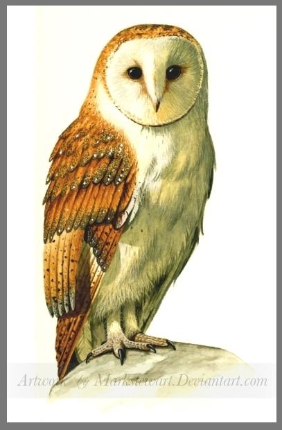 Barn owl by markstewart