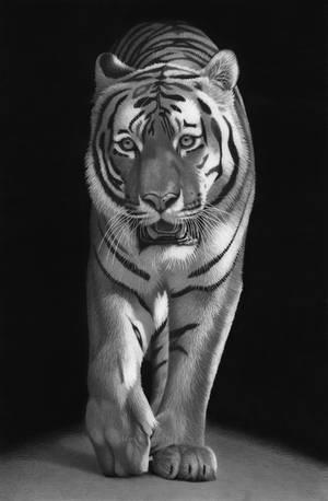 Tiger by markstewart