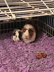 I GOT GUINEA PIGS!!!!  by GrimmSkulltheMad
