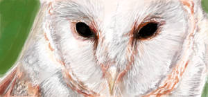 Barn Owl by ckrickett