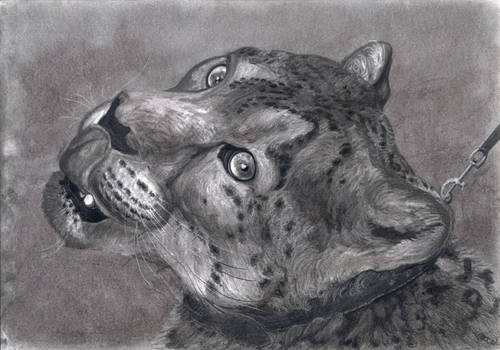 Snow Leopard In Collar