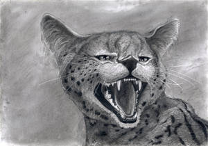 Angry Serval