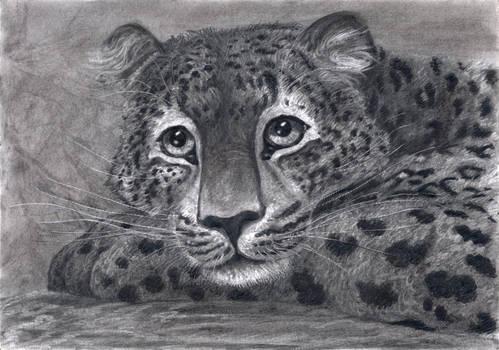 Young Leopard's Portrait