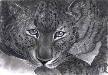 Leopard's Face