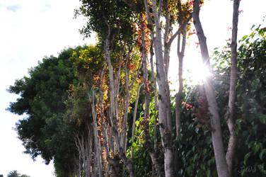 La Jolla Sidewalk Trees
