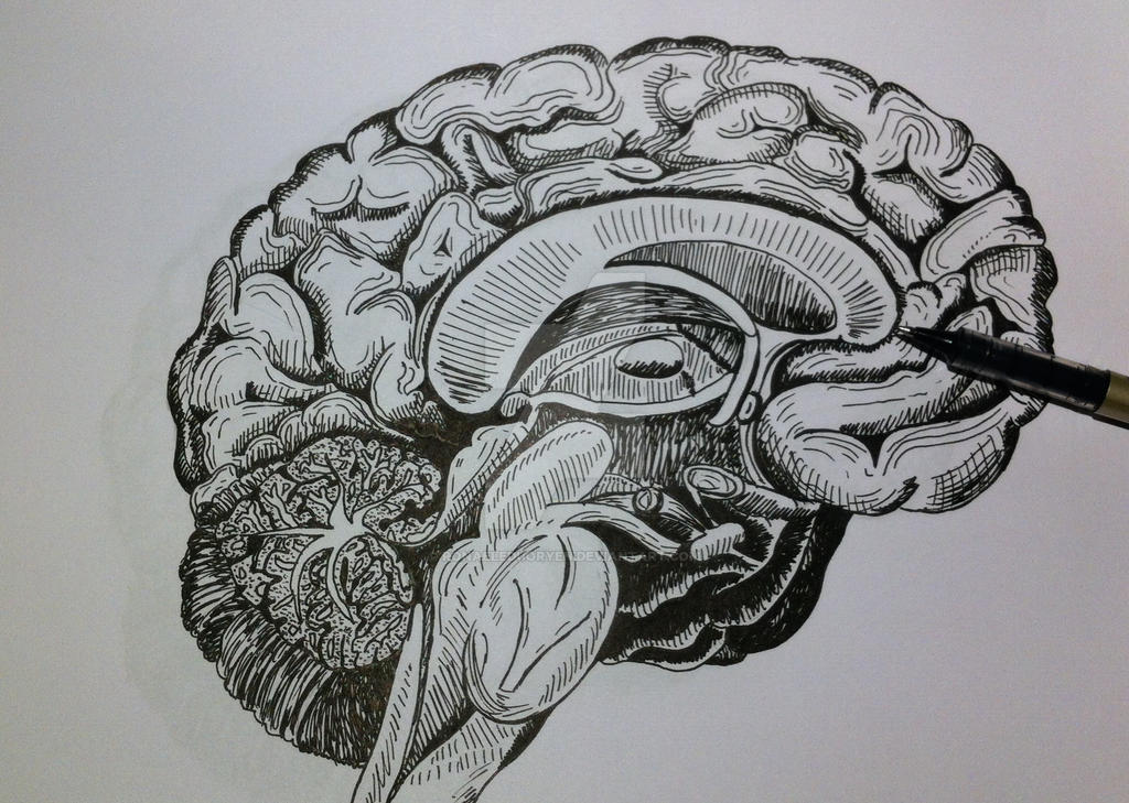 Brain - Anatomy drawing by RonaeleDuoryen on DeviantArt