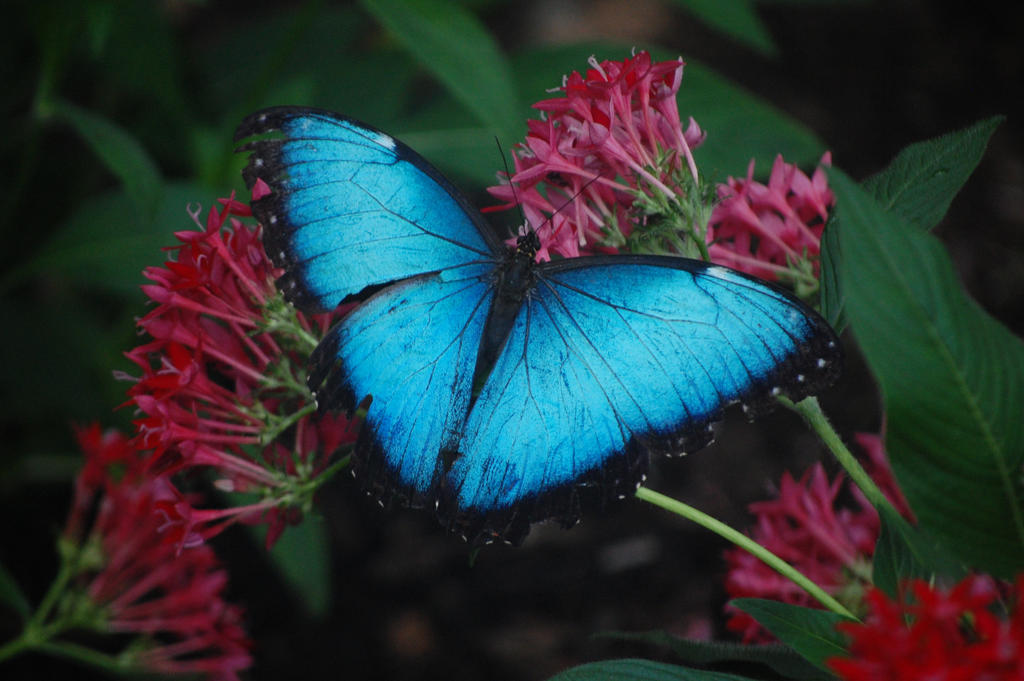 Blue Butterfly by Wandering-Soul7996