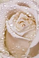 Rose by Lambii