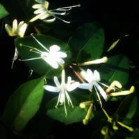 Glowing Honeysuckles by Nicholas Emeigh by nemeigh