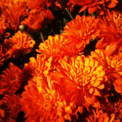 Orange Fall Mums by Nicholas Emeigh by nemeigh