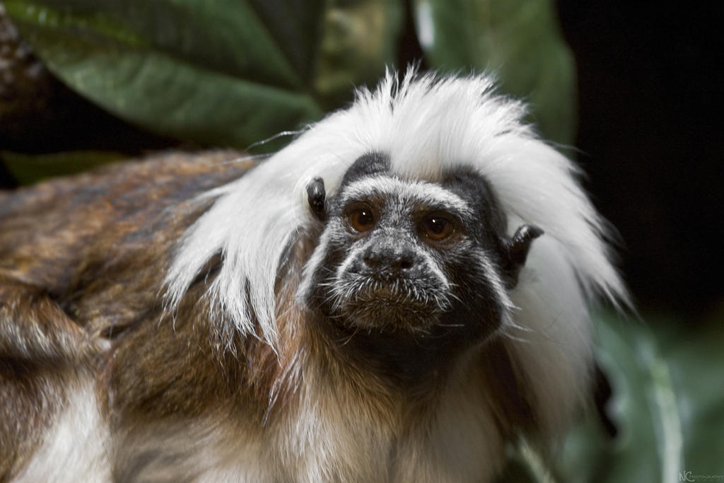 IMAGE: http://fc17.deviantart.com/fs43/i/2009/089/c/d/Cotton_Top_Tamarin_by_NC_Photography.jpg