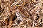 Savannah Sparrow Camouflage