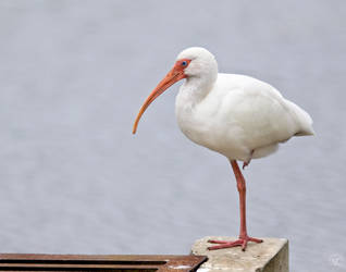 Balancing White Ibis by NC-Photography