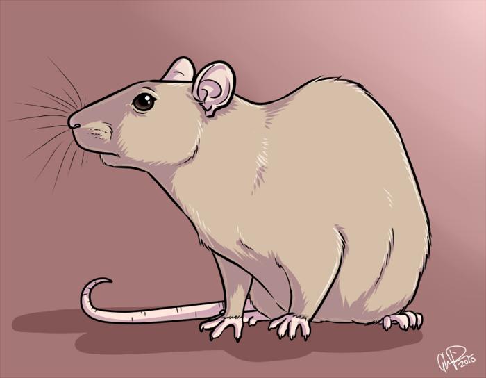 a rat by twapa