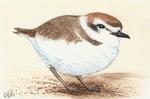 Winterbirds - Snowy Plover
