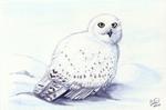 Winterbirds - Snowy Owl
