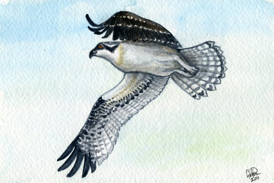 Osprey by twapa