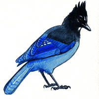 Steller's Jay by twapa