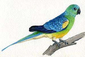 Red-rumped Parrot by twapa