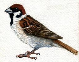 Tree Sparrow by twapa