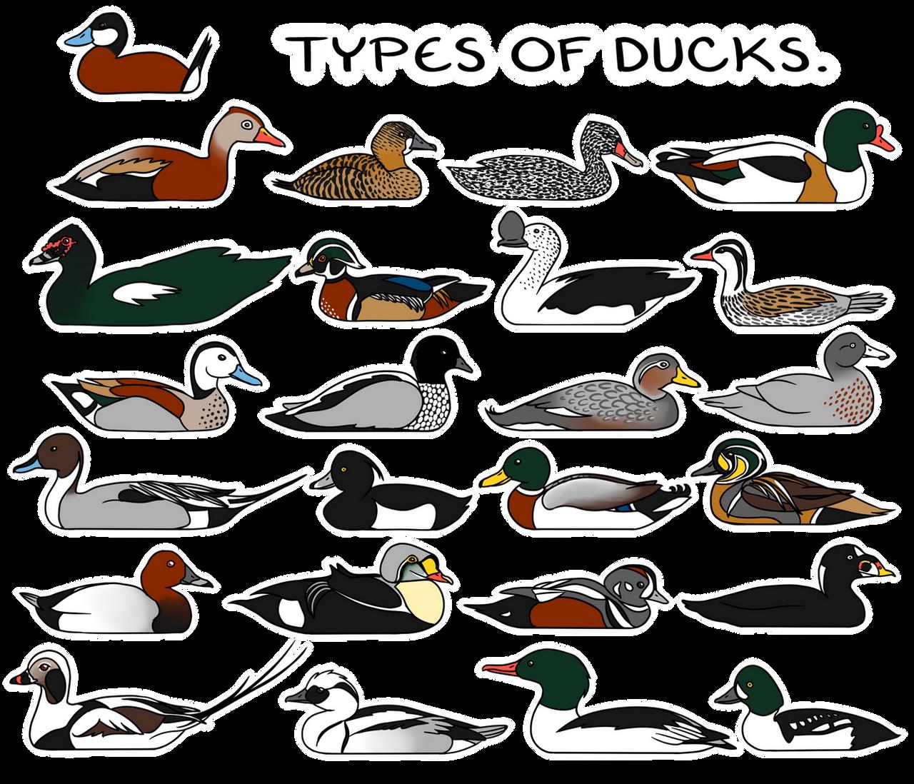 Types of Ducks. by twapa