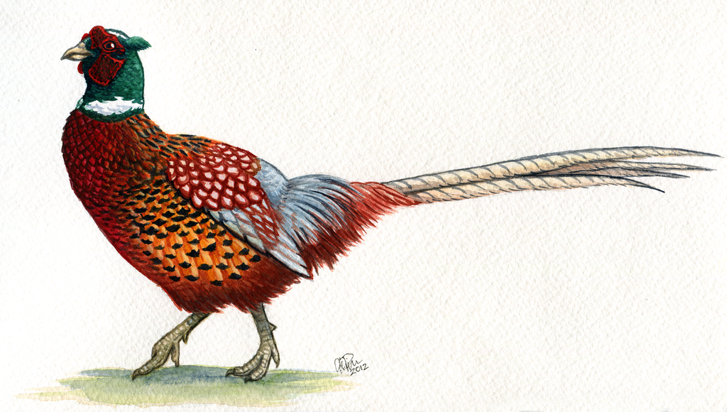 Ringneck Pheasant by t...