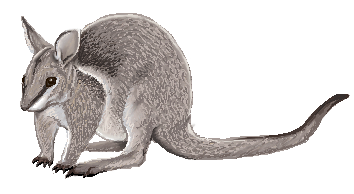Bridled_Nailtail_Wallaby_by_twapa.png