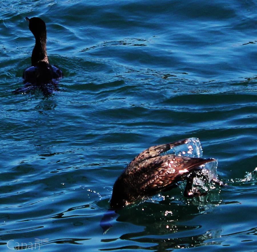 Cormorants by Canankk
