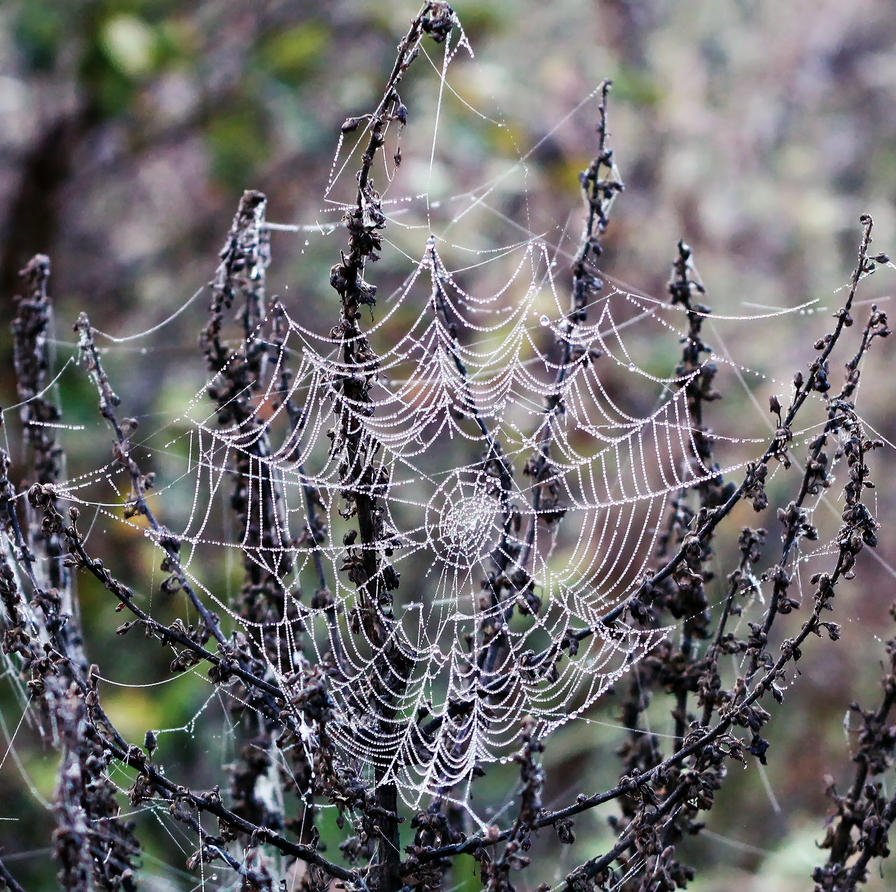 Spider Web And Dew by Canankk