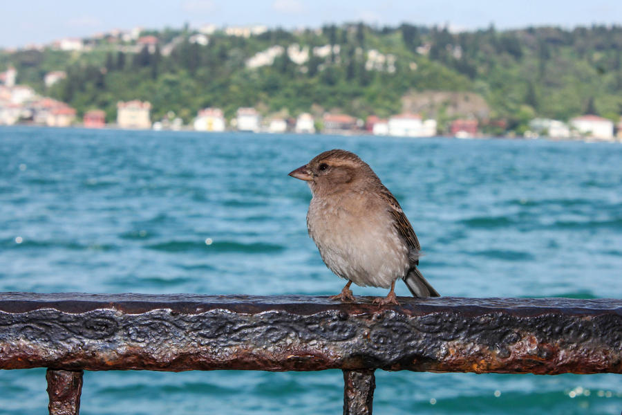 Sparrow of Bosphorus by Canankk