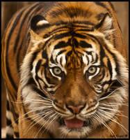 Tiger by GadFogiel