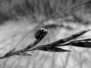 Beach Ladybug