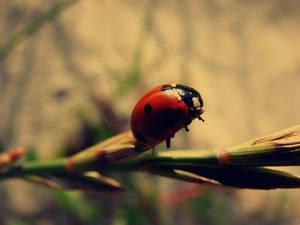 Beach Ladybug 02