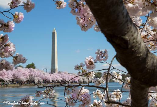 Washington in Bloom