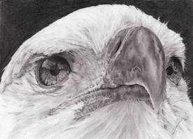 Bald Eagle by AnnCharlotteR