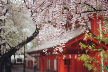 Sakura in Hanazono-Jinja
