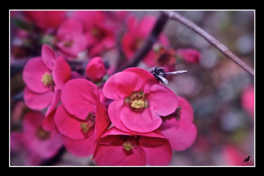 Pomegranate Blossom. by jennystokes